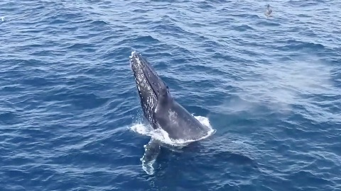 Humpback Whales Breaching in Southern California - Part 1 6268ddca714