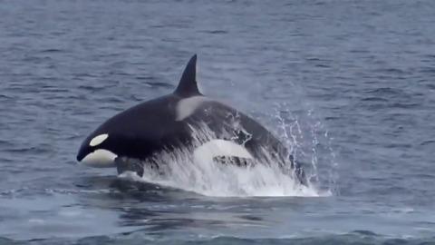 e0f9deaa36a6 Orca Whales Breach and Play in Monterey Bay